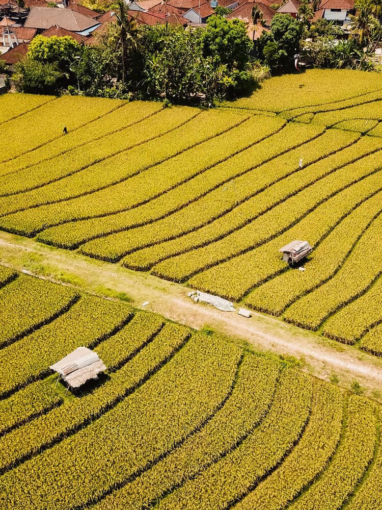 Aerial view of yellow rice fields at Canggu