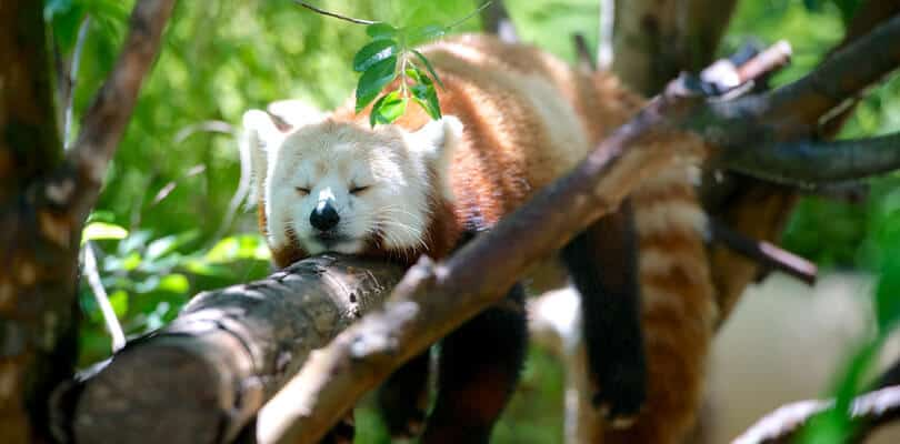 Red panda in San Diego Zoo