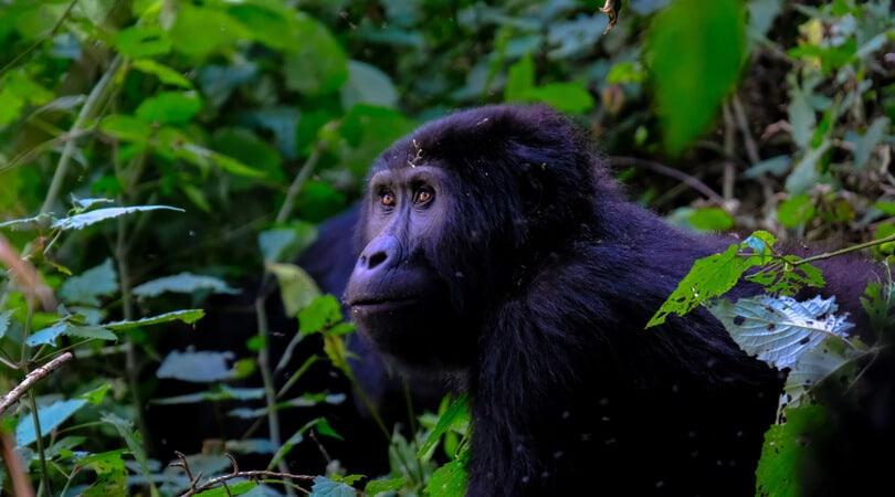 Gorilla in Forrest