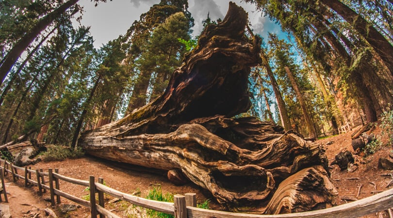 Tree at Sequoia National Park