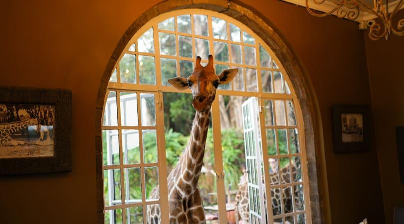 Giraffe poking its head inside the house
