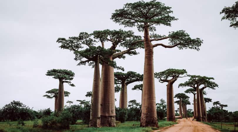 Madagascar palms