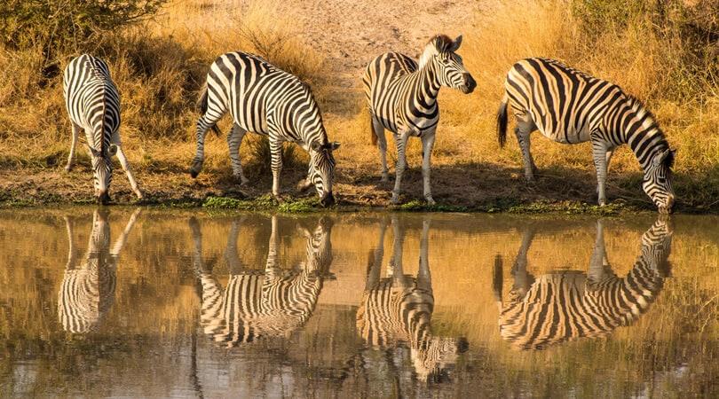 zebras near water kruger national park